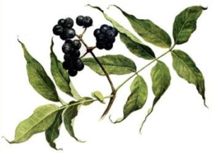 Лечения сахарного диабета ягодами бархата амурского